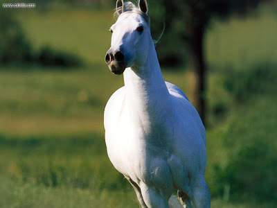 horses wallpaper. 3d White Horse Wallpaper.