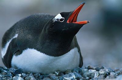 Gentoo Penguin Pics