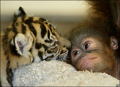 Baby Animals Monkey Tiger
