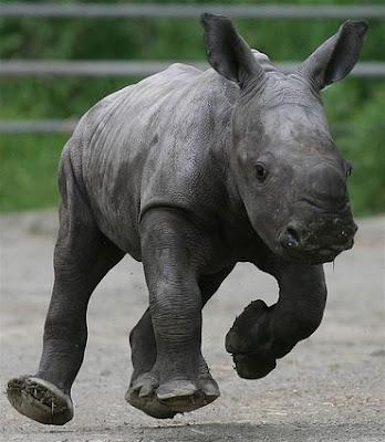 Baby Animal Rhino