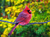 Red Cute Bird