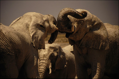Animals Video Wallpapers - Elephants