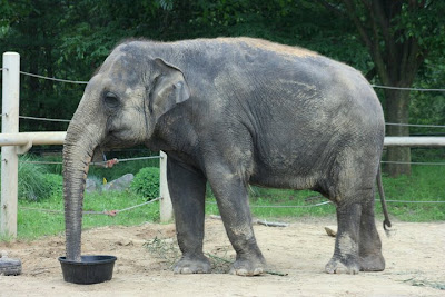 Eating Asian Elephants Image at Zoo