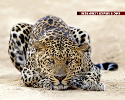 Leopards Hunting Video Pics