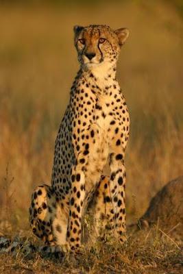 Cheetahs Hunting Video Gallery Pics
