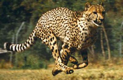 Hunting Cheetaha Video Pics