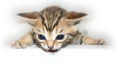 kitten cats - Puppy Healthy Cats Picss