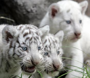 3 White Tiger Cubs Picture