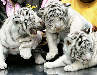 3 White Tigers Cubs Picture