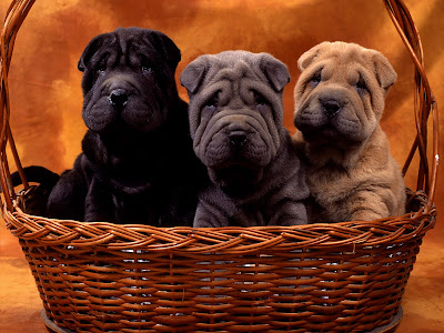 Puppies Cute Basket Buddies Pics