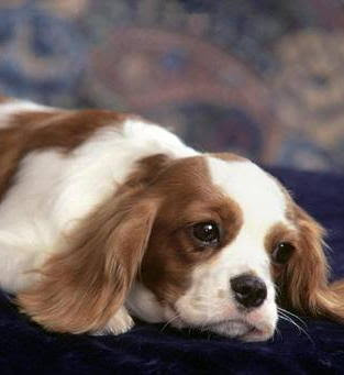 Cavalier King Charles Spaniel Dogs Pics