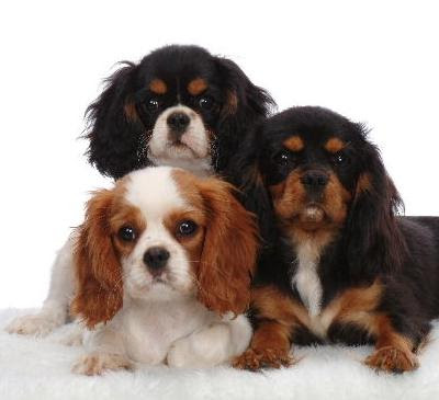 Cavalier King Charles Spaniel Puppy 03 Photo