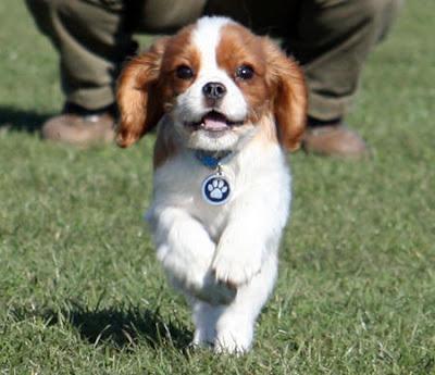 Cavalier King Charles Spaniel Puppy Pics