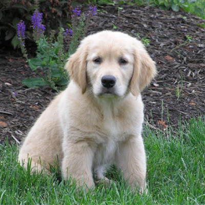 Golden Retriever Breeds Puppy Cute Pics