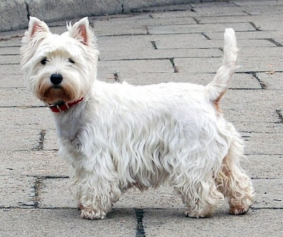 West Highland White Terrier Cute Puppies Pics