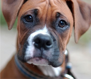 Boxer Dogs Gallery Photo