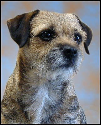 Border Terrier Dog Photo