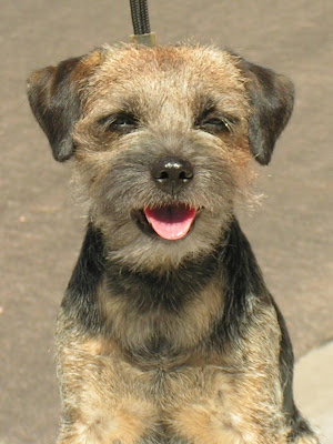 Cute Border Terrier Dogs Picture