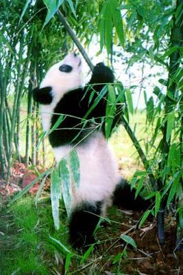 Panda - Pics