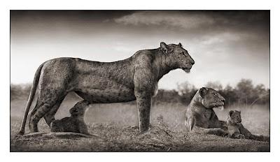 Lioness with Cub Feeding