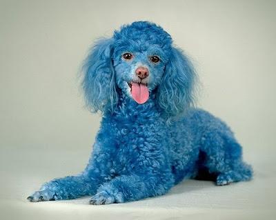 Poodle Cotton Blue Toy Poodle pics