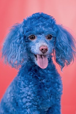 Funny Dog Blue poodle Photo Gallery