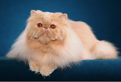 Persian cats gallery Image