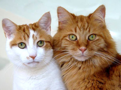 Cats - Maine Coons Cats Picture