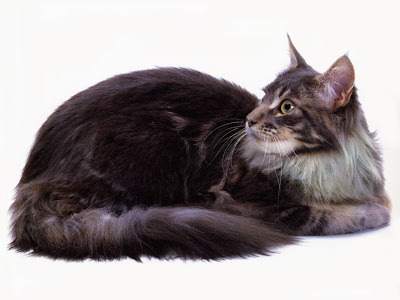 Cats - Maine Coon Blue Classic Tabby Pics