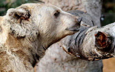 Brown bears Roan and Honey Photo