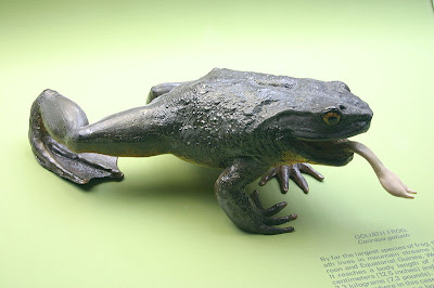 The goliath frog Image