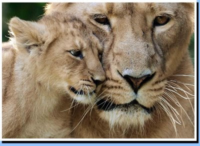 Asian Lion and Lion Cub Photo