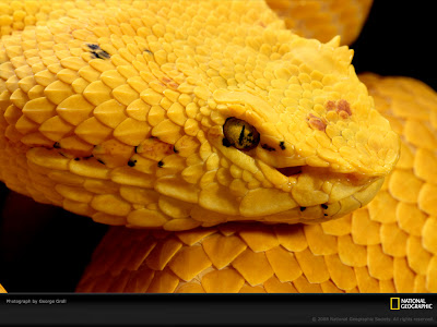 Eyelash Viper - Yellow Snake