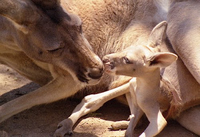 Kangaroo With Baby Photograph at Zoo Park