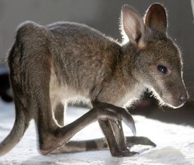 Baby Kangaroo Pics