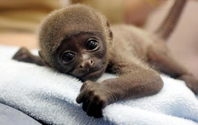 Baby Monkeys Video Gallery Photo