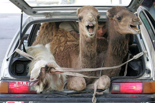camels in back of car