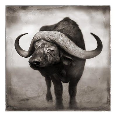 Buffalo Wild Animal Picture