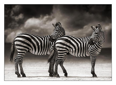 Wild Animals Zebras Picture