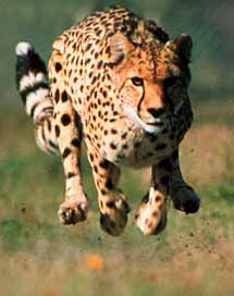 Fastest Running Animal Cheetah - 1