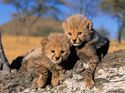 Tigers cheetah cubs Picture