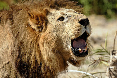 Lions Roaring Pics