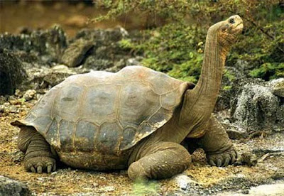 The Worlds Biggest Tortoise