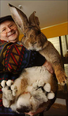 Worlds Largest Rabbit Photo