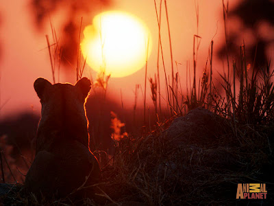 Lion Animal Sunset Picture