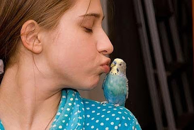 Budgie Parakeets Picture