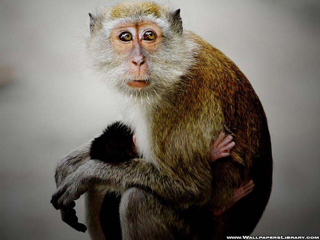 Unique Animals Blogs Baby Monkey Wallpapers Monkey Baby