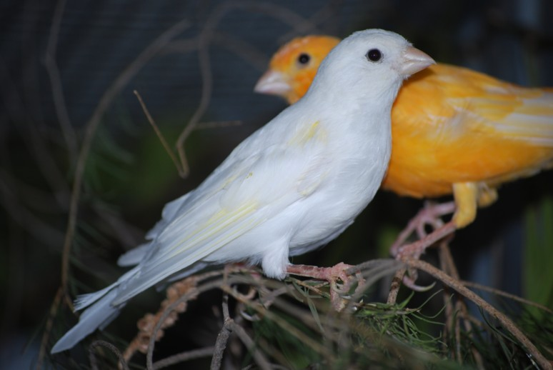 Finches In Florida. be easy one florida canary