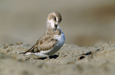 Snowy Plover Bird Picture