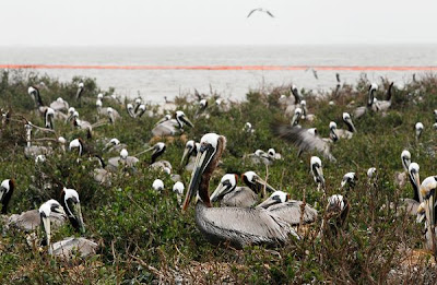 Brown Pelicans - Save Ten Animals
